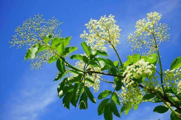 Цветы и соцветия бузины черной