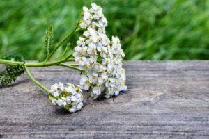 трава тысячелистник и его лечебные свойтва